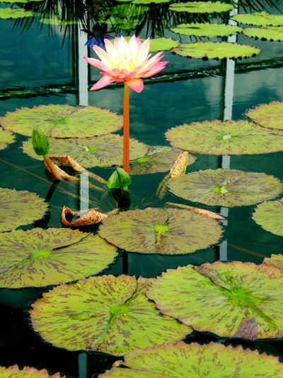 Taking Photos Lillypads Outside Photography St. Paul, Mn Como Zoo Flowers,Plants & Garden Water Lillies Water Reflections