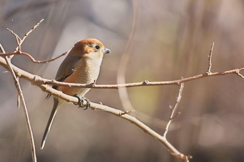百舌 百舌鳥 Bird Nature Beauty In Nature Nature Photography Nature_collection Naturelovers Naturelover Natural Beauty Nature Lover Beauty In Nature