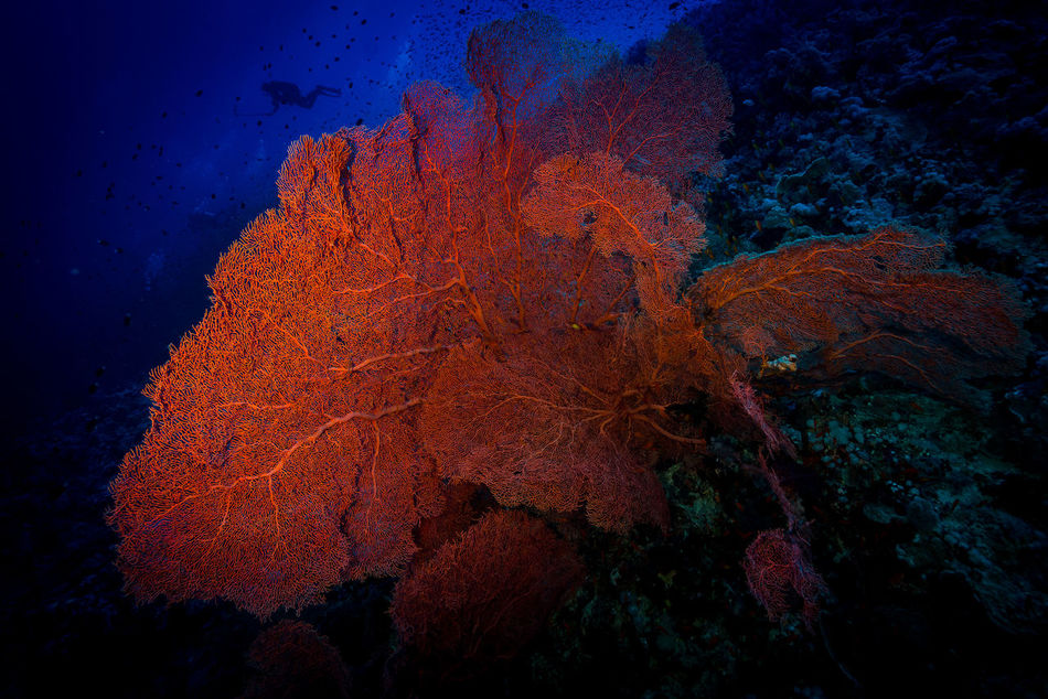 red sea Adventure Aquatic Sport Beatiful Nature Beauty In Nature Close-up Coral Day Escape Explorer Extreme Adventures Fan Light And Shadow Nature No People Ocean Outdoors Red Coral RedSea Scubadiving Sky Solo Traveller Travel Photography UnderSea Underwater Unusual Beauty