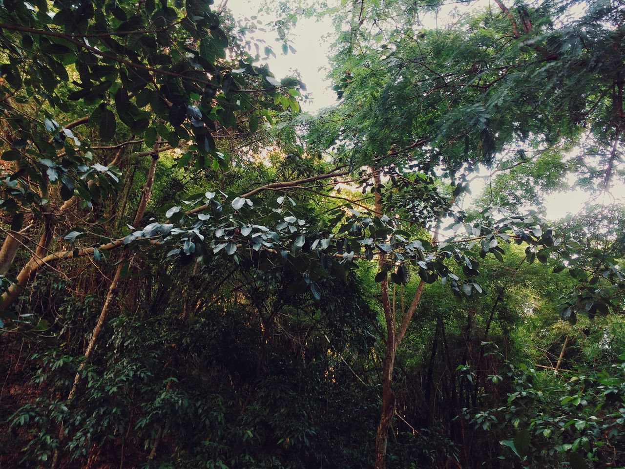 A tropical forest in Copacabana. Tree Nature Growth No People Beauty In Nature Backgrounds Low Angle View Full Frame Close-up Day Outdoors Scenics Tranquility Brazilian Travel Destinations Freshness Forest Rainforest Jungle Flora Copacabana Foilage Tropical Canopy Green