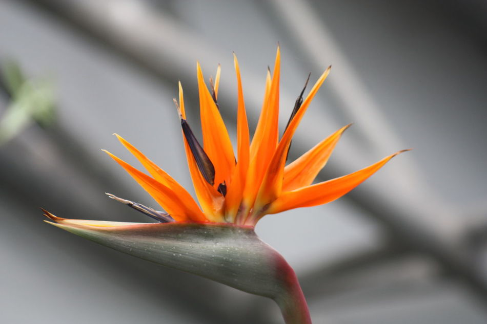Bird Of Paradise Closeup Edenproject Flower Orange The Eden Project