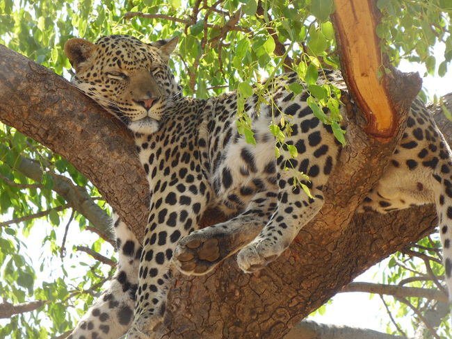 Natural Habitat Rest & Relaxation Camouflage Spots Blending In  Lazing Around Higher Ground Animals In The Wild Laid Back