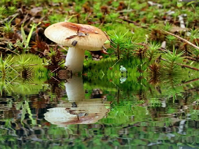 Mushroom Reflections In The Water Reflection EyeEm Best Shots Nature On Your Doorstep Shroom EyeEm Nature Lover Mushroom Collection Nature Shrooms Mushrooms Reflection_collection Check This Out Eye4photography  EyeEm Best Shots - Nature Tadaa Community EyeEm Best Edits Beautiful Nature Creative Editing Color Of Life Shroomporn Shroomery Reflections Water Reflections My Art, My Soul...