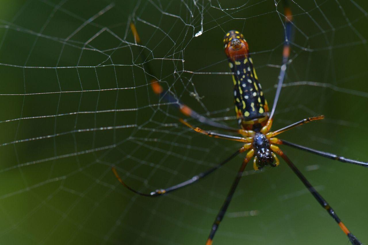 Spiderweb Spider Nephila Maculate Thailand Nangrong Waterfall Macro Photography