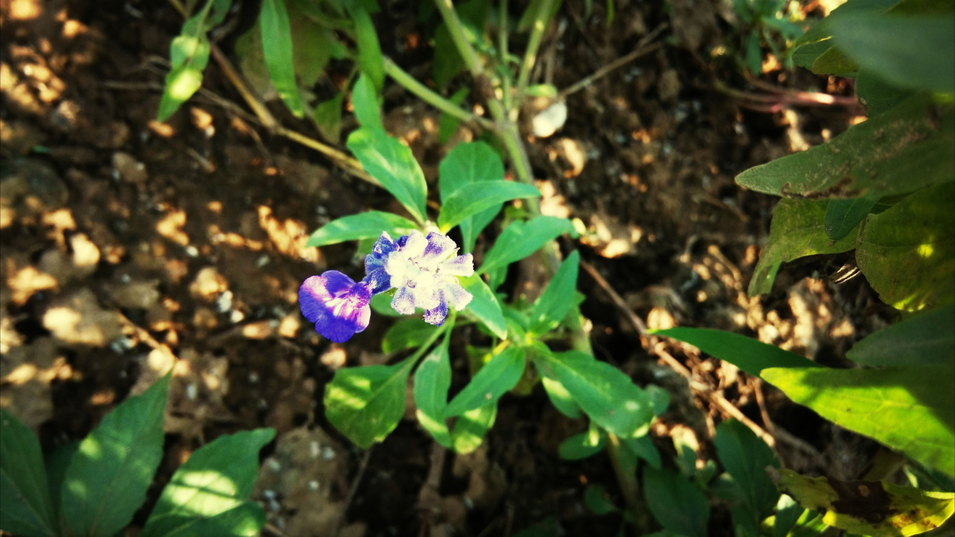 leaf, growth, flower, freshness, plant, green color, purple, beauty in nature, fragility, nature, close-up, high angle view, blooming, petal, focus on foreground, outdoors, day, no people, botany, growing