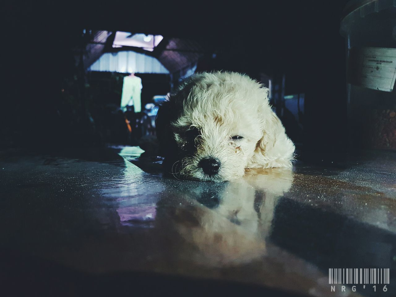 Sleepy head 🐩 One Animal Indoors  Adult Mammal People One Person Domestic Animals Pets Animal Themes Day One Man Only Adults Only Only Men Close-up Poodle🐩 Animal Dog Reflection Outdoors
