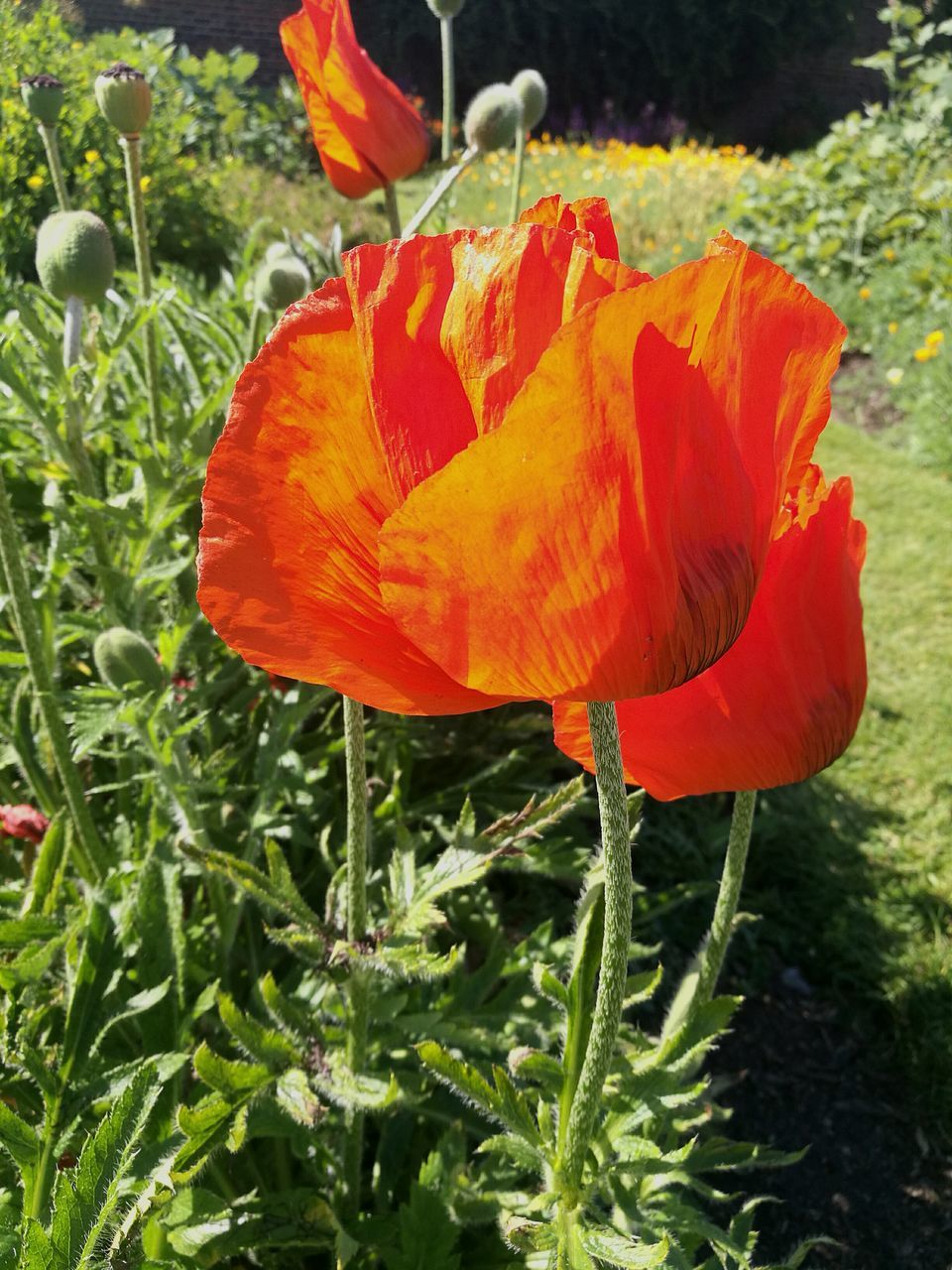 flower, petal, beauty in nature, growth, nature, fragility, flower head, plant, freshness, blooming, no people, poppy, outdoors, close-up, day