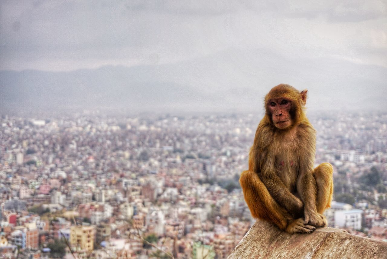 Monkey Cheekymonkey Chilled Monkey Kathmandu Observing