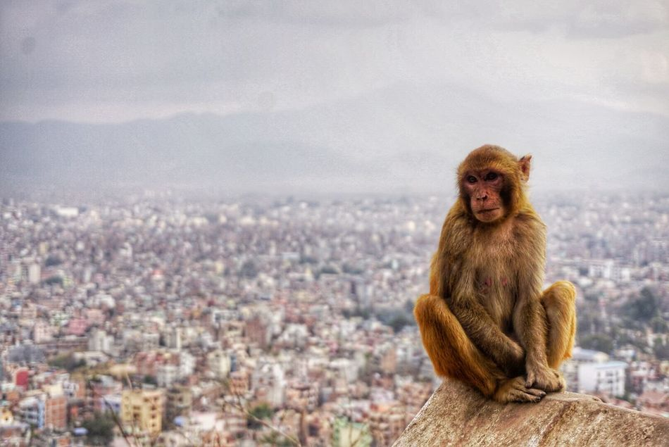 Monkey Cheekymonkey Chilled Monkey Kathmandu Observing