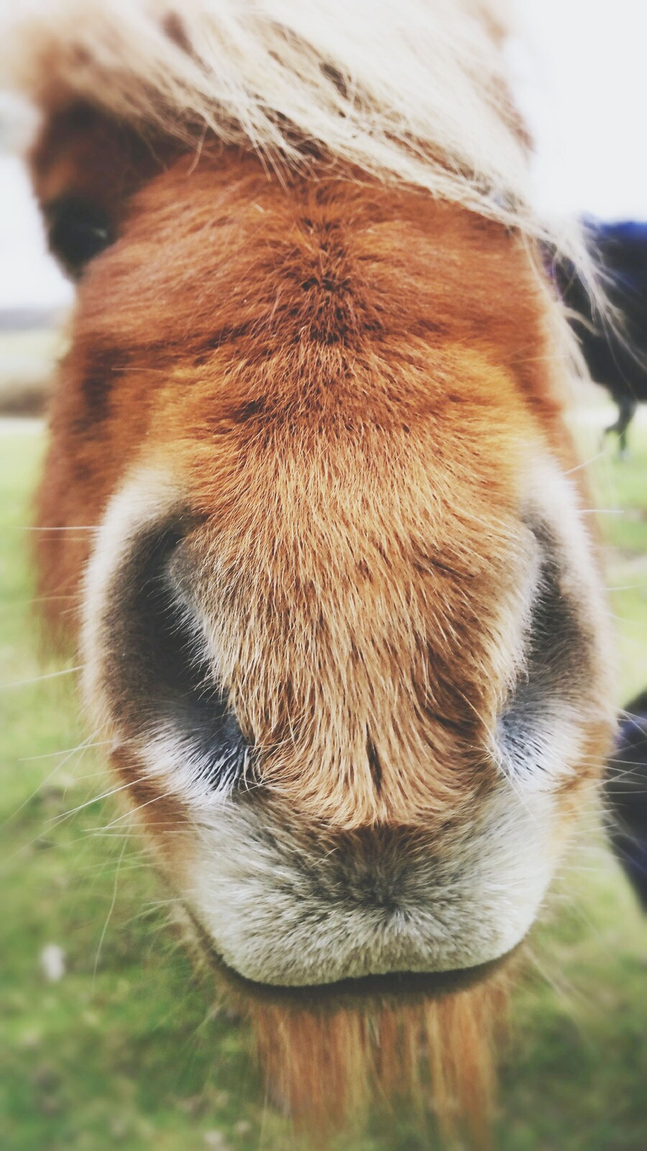animal themes, mammal, one animal, domestic animals, animal head, close-up, animal body part, focus on foreground, pets, animal hair, horse, brown, part of, livestock, zoology, day, animal nose, outdoors, no people, field