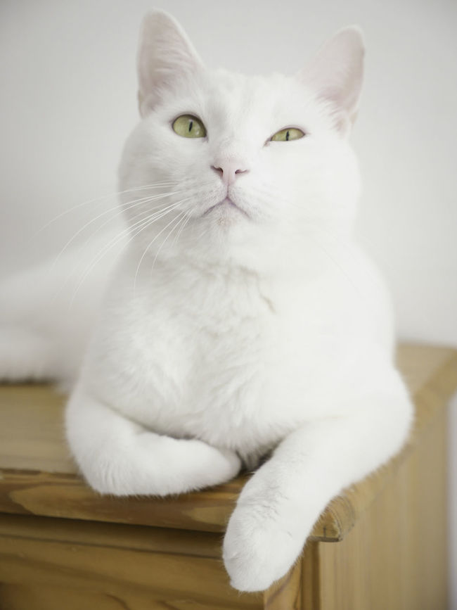 Cat Portrait Cute Cat Day Domestic Cat Feline Feline Friend Focus On Foreground FUNNY ANIMALS Funny Cat Funny Faces Indoor Intrigued  No People One Animal Paws And Purrs Pet Vertical White White Cat White Color