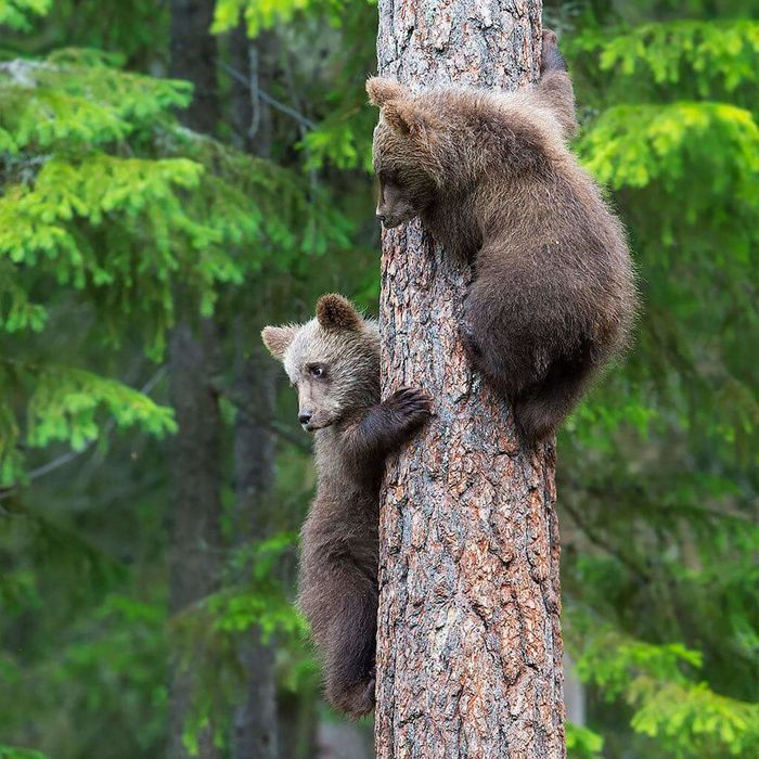 Get down right away! Okay mom Sweet Cute Bear Bear Cubs Awesome Animal Photography Check This Out Taking Pictures Nature_collection Animal_collection Climbing Tree