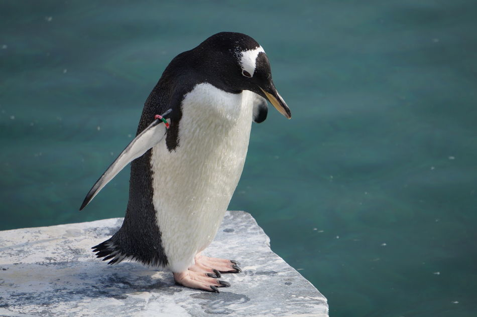 Beautiful stock photos of pinguin, Animal Themes, Beak, Close-Up, Day