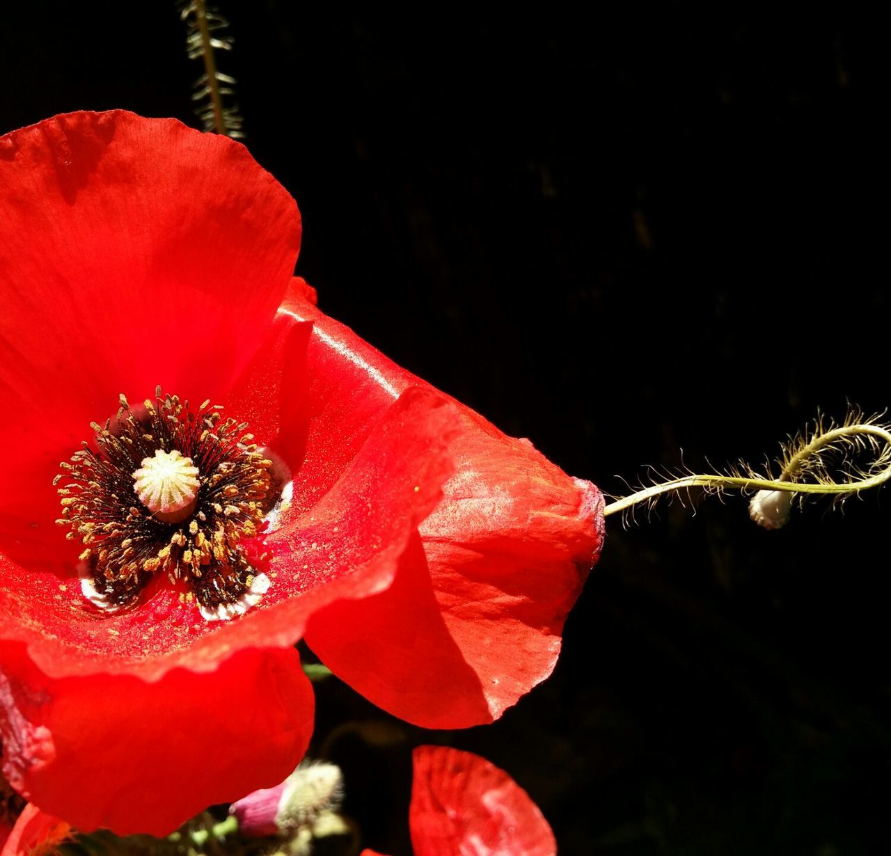 Red Flower Poppy Flowers Flower Head Nature Poppy Freshness Close-up Beauty In Nature Fragility Petal Black Background Plant Outdoors Growth
