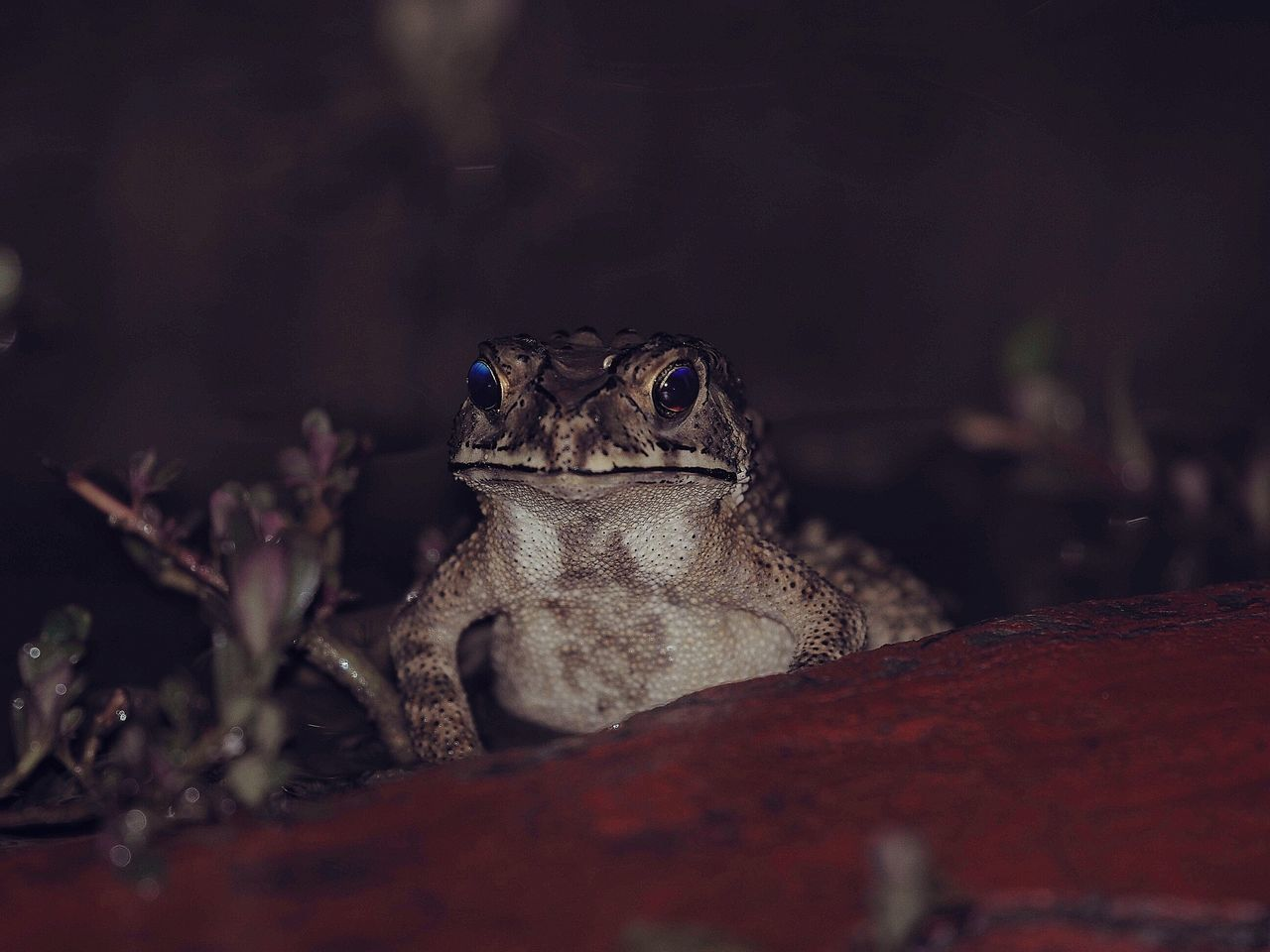 After Rain Patiently Waiting Waiting For Prey One Animal Looking At Camera Close-up Outdoors Frog Reptile