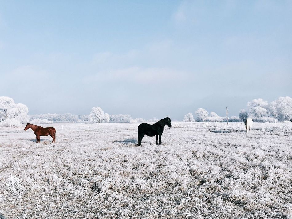Domestic Animals Animal Themes Mammal Nature Livestock Sky Landscape Field Horse Winter Day Beauty In Nature Herbivorous Cold Temperature Snow Outdoors Scenics No People Full Length Horses Horse Life Horse Photography  Landscape_Collection Landscape Photography My Year My View Fresh On Market 2016