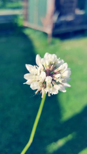 Flower Fragility Petal Flower Head Freshness White Color Nature Day Beauty In Nature Outdoors Blossom Springtime Close-up Plant Growth No People