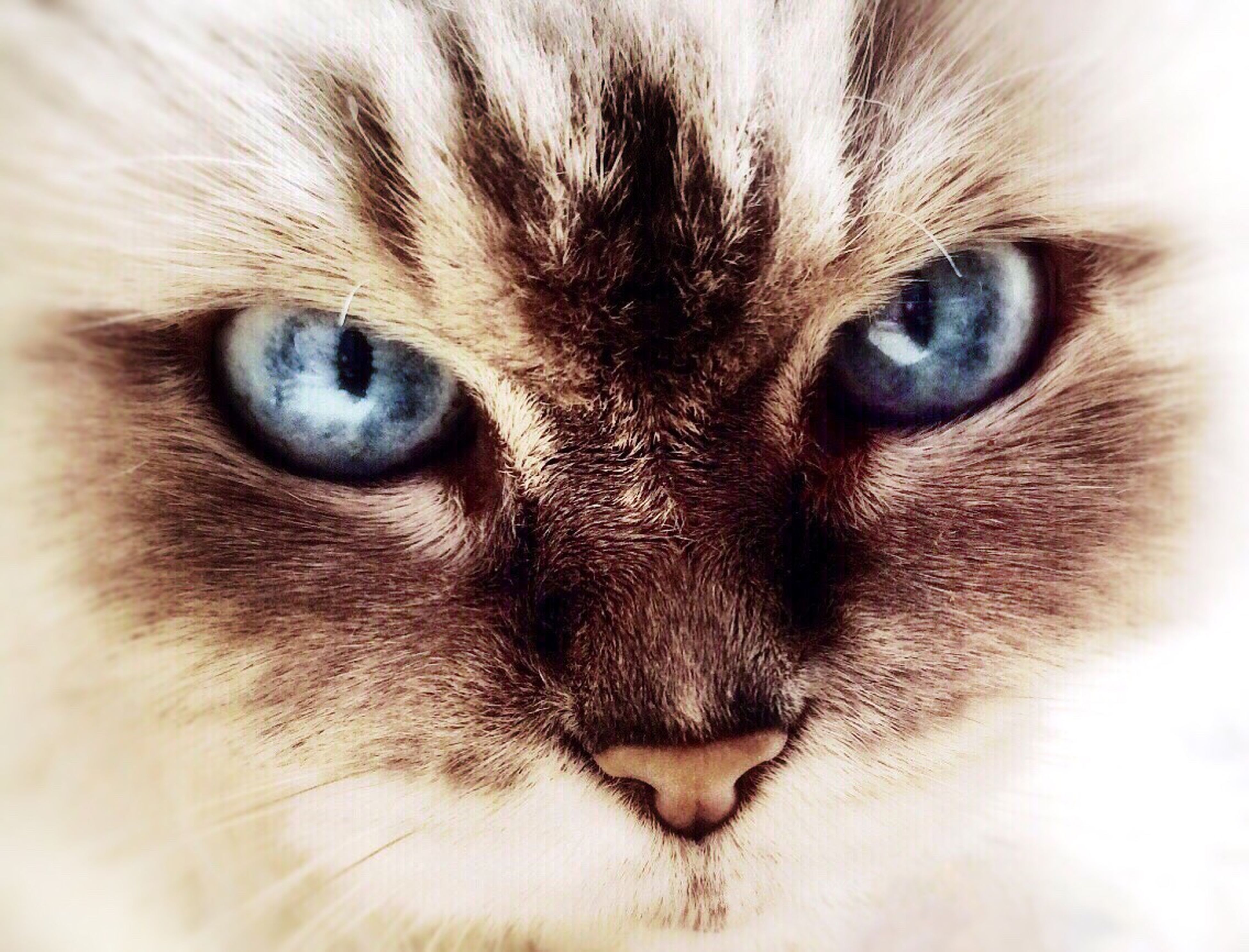 domestic cat, cat, animal themes, one animal, pets, feline, whisker, domestic animals, animal eye, portrait, looking at camera, mammal, animal head, close-up, full frame, staring, backgrounds, animal body part, extreme close-up, indoors