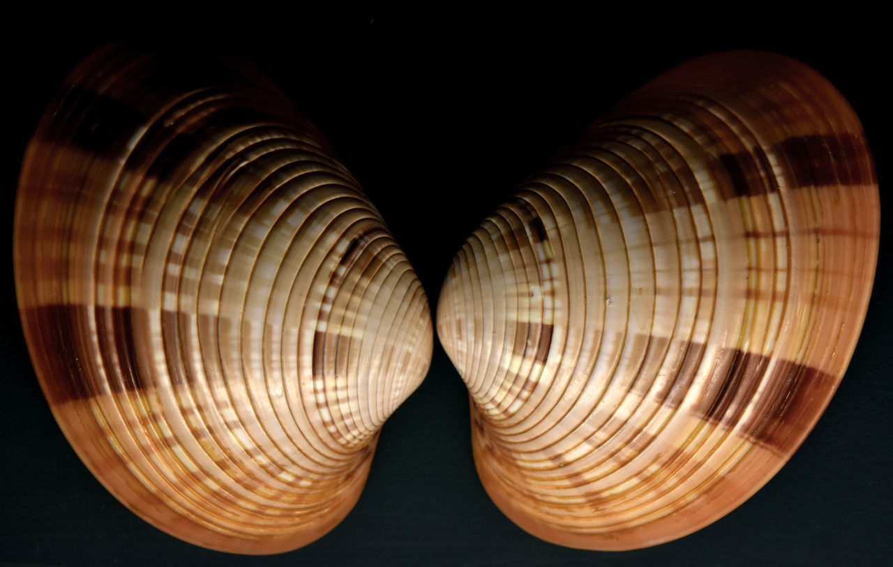 Beauty In Nature Bivalve Molluscs Black Background Close-up Lit From Below Museum Display No People Pair Patterns In Nature Shells Two Halves Two Of