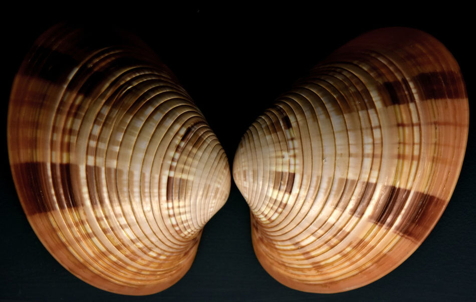 Beauty In Nature Bivalve Molluscs Black Background Close-up Lit From Below Museum Display No People Pair Patterns In Nature Shells Two Halves Two Of Art Is Everywhere