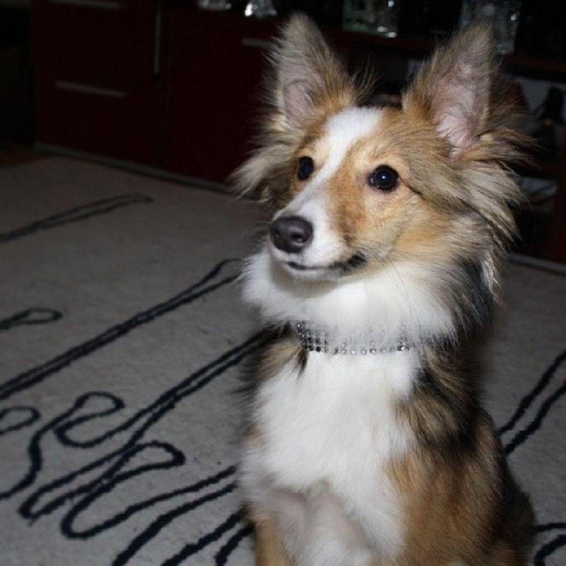 Elegance. Sheltiemix Sheltie Mixedbreed Dog hund welpe elegant elegance sheltiesofig_ dogstagram cute