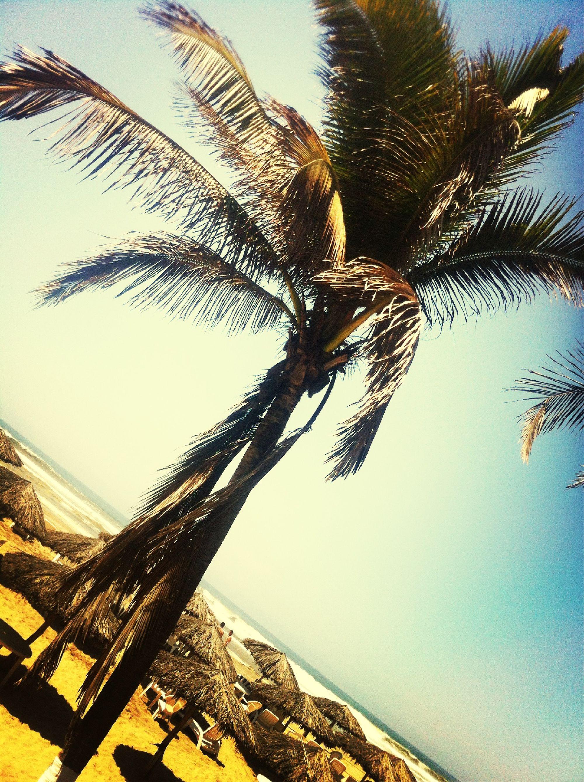 palm trees at paseo de la reforma Palm Trees