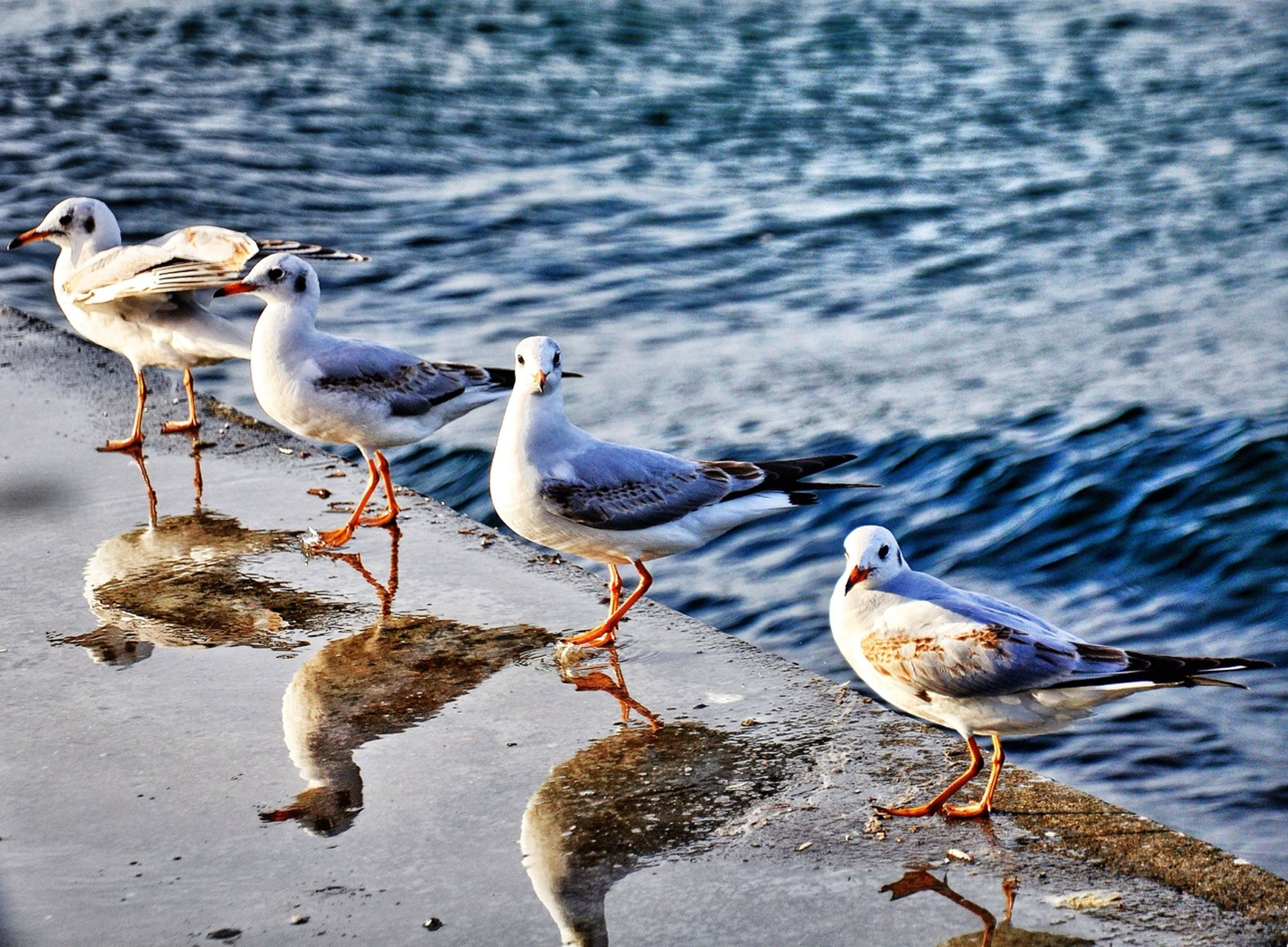 bird, animal themes, animals in the wild, water, wildlife, seagull, duck, lake, togetherness, nature, outdoors, two animals, river, day, no people, focus on foreground, rippled, zoology, vertebrate, lakeshore