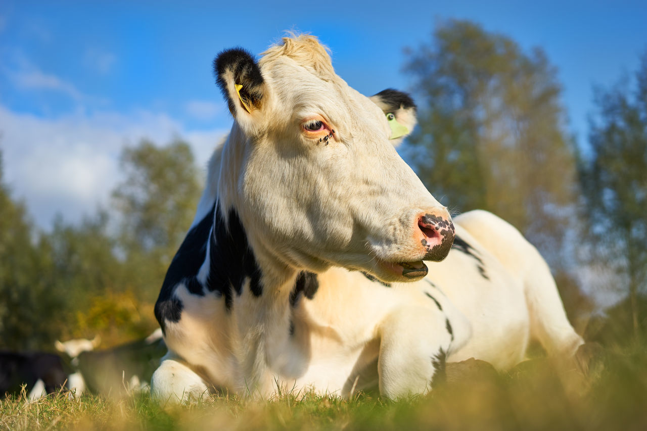 A Cow Lying Down In A Field With Flies Around Its Eye Animal Themes Blue Sky Bull Close-up Cow Cows In A Field Day Flies Flies And Cow Grass Low Angle View Lying Down Mammal Mooing Nature No People One Animal Outdoors Portrait Sky Tags Tree