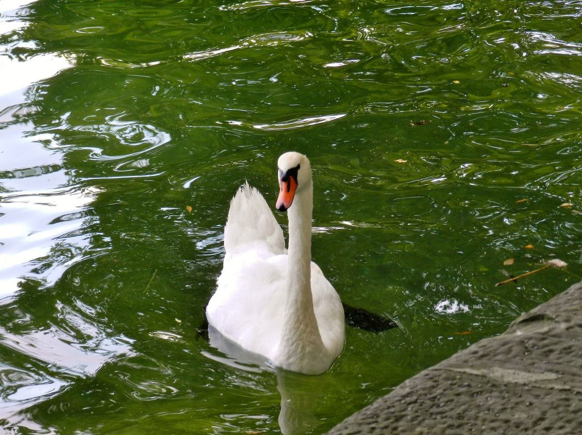 Animal Themes Beauty In Nature Insel Mainau Lake Of Constance Majestic No People Schwan  Swimming Water Bird