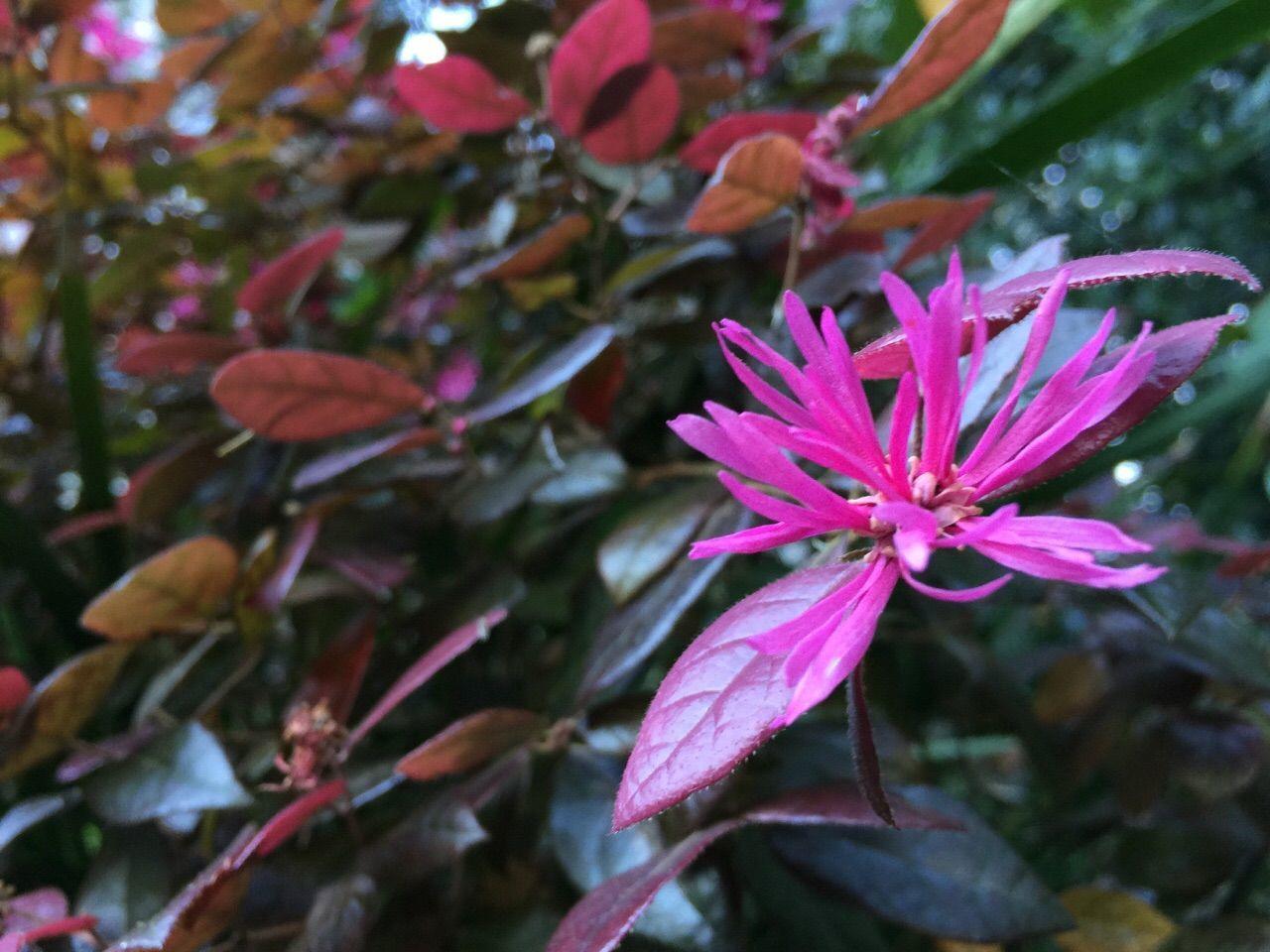 Loropetalum Chinense Loropetalum Fringe Flower