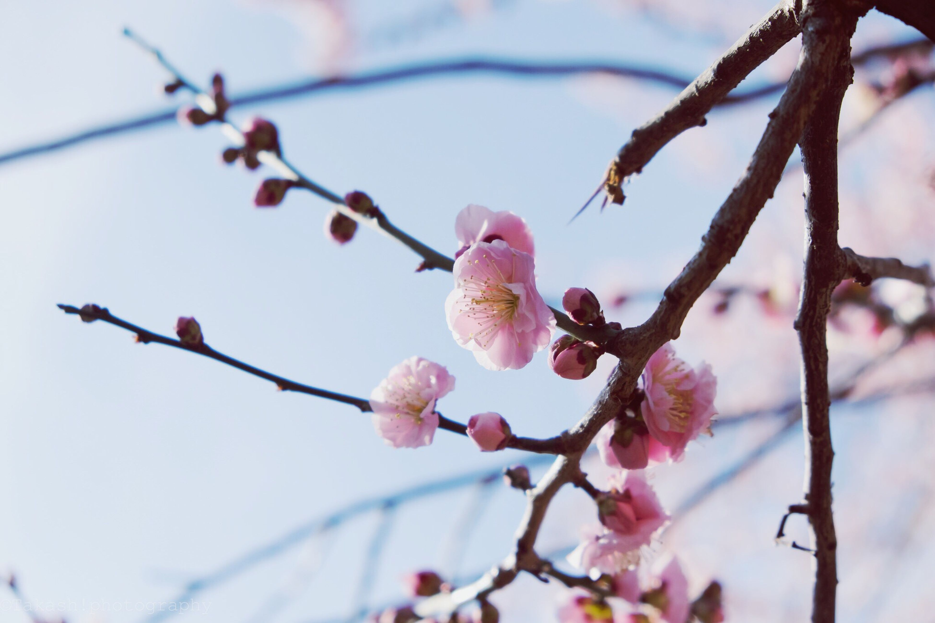 flower, branch, freshness, growth, tree, cherry tree, cherry blossom, fragility, twig, blossom, pink color, focus on foreground, beauty in nature, low angle view, nature, fruit tree, close-up, orchard, springtime, bud