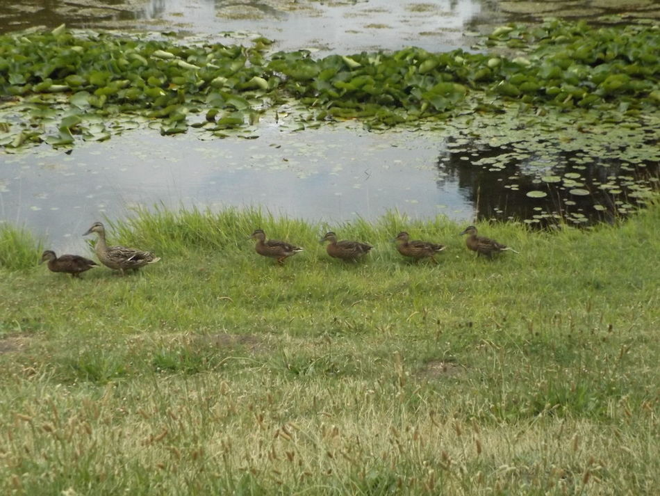 Jackson Michigan Following The Leader Mother Duck Ducklings Cascades Park Mother Duck With Ducklings Beautifully Organized