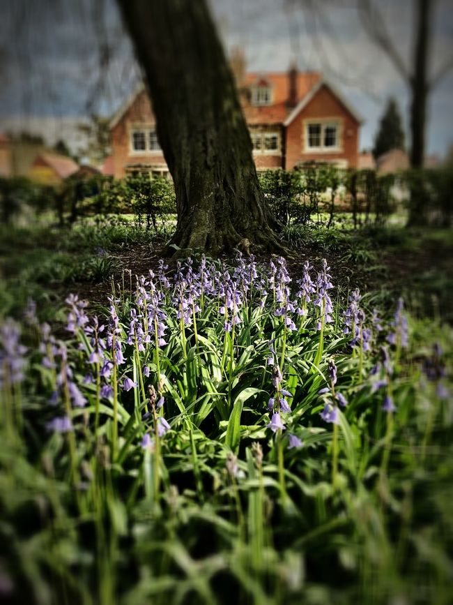 Bluebells Abingdon-on-Thames Iphonephotography Iphone6s