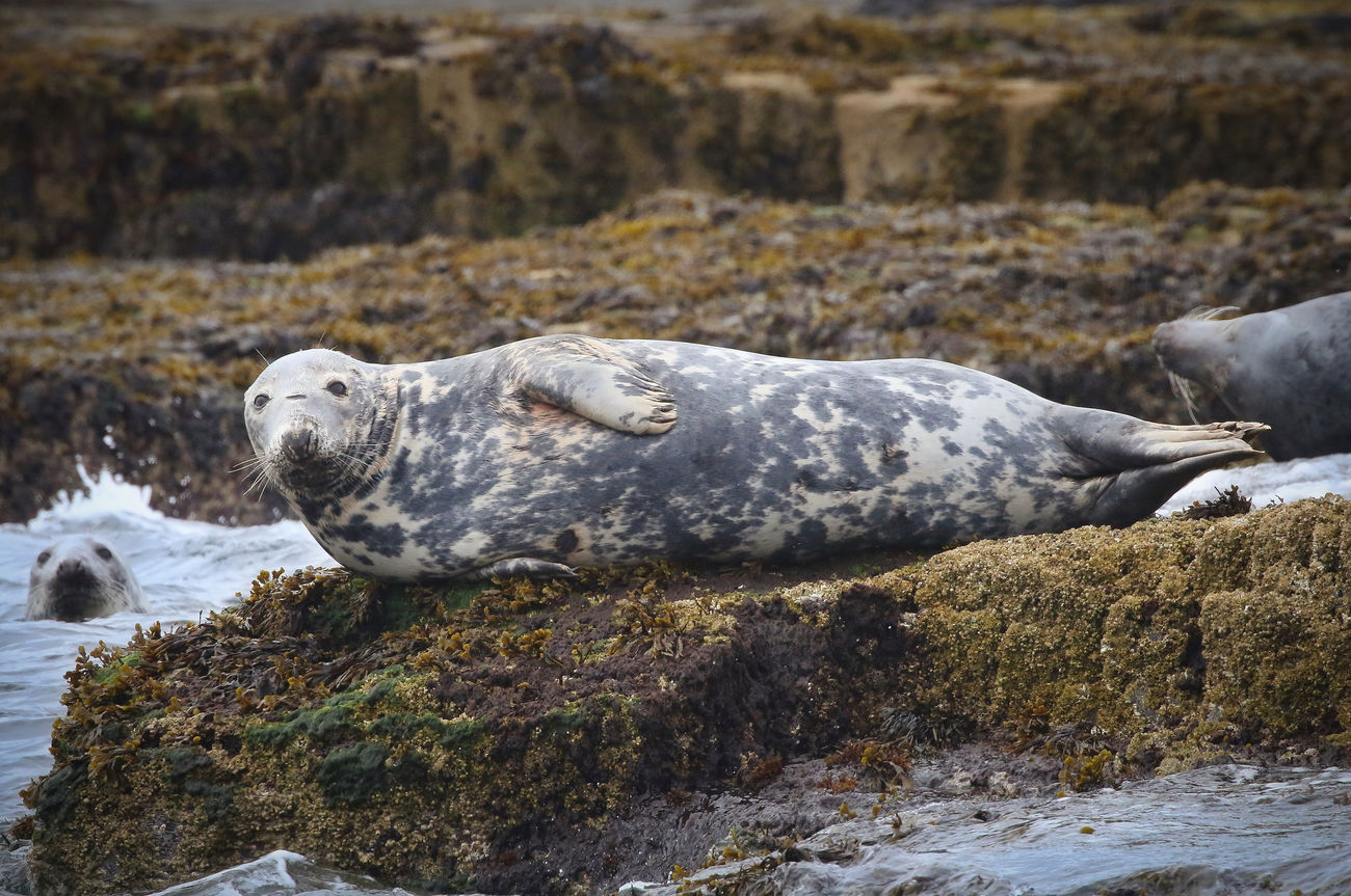 Grey Seal in the Farne Islands Animal Themes Animal Wildlife Animals In The Wild Aquatic Mammal Beauty In Nature Close-up Day Mammal Nature No People One Animal Outdoors Rock - Object Rock Formation Sea Water
