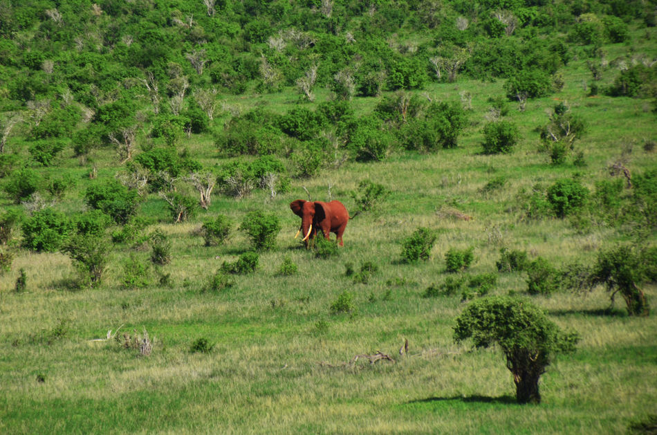 Africa Animal Themes Animals In The Wild Animals In The Wild Beauty In Nature Day Elephant Field Grass Green Color Growth Kenya Landscape Mammal Nature Nature Photography No People One Animal Outdoors Red Elephant Tsavo West Wildlife Wildlife Photography
