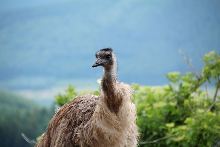 Ostrich Animal Wildlife Animal One Animal Animals In The Wild Nature Animal Themes Outdoors No People Bird Day Agriculture Grass Plant Sky Llama Beauty In Nature Mammal Close-up Sauerland Emu Beauty In Nature Portrait Nature Animals In The Wild