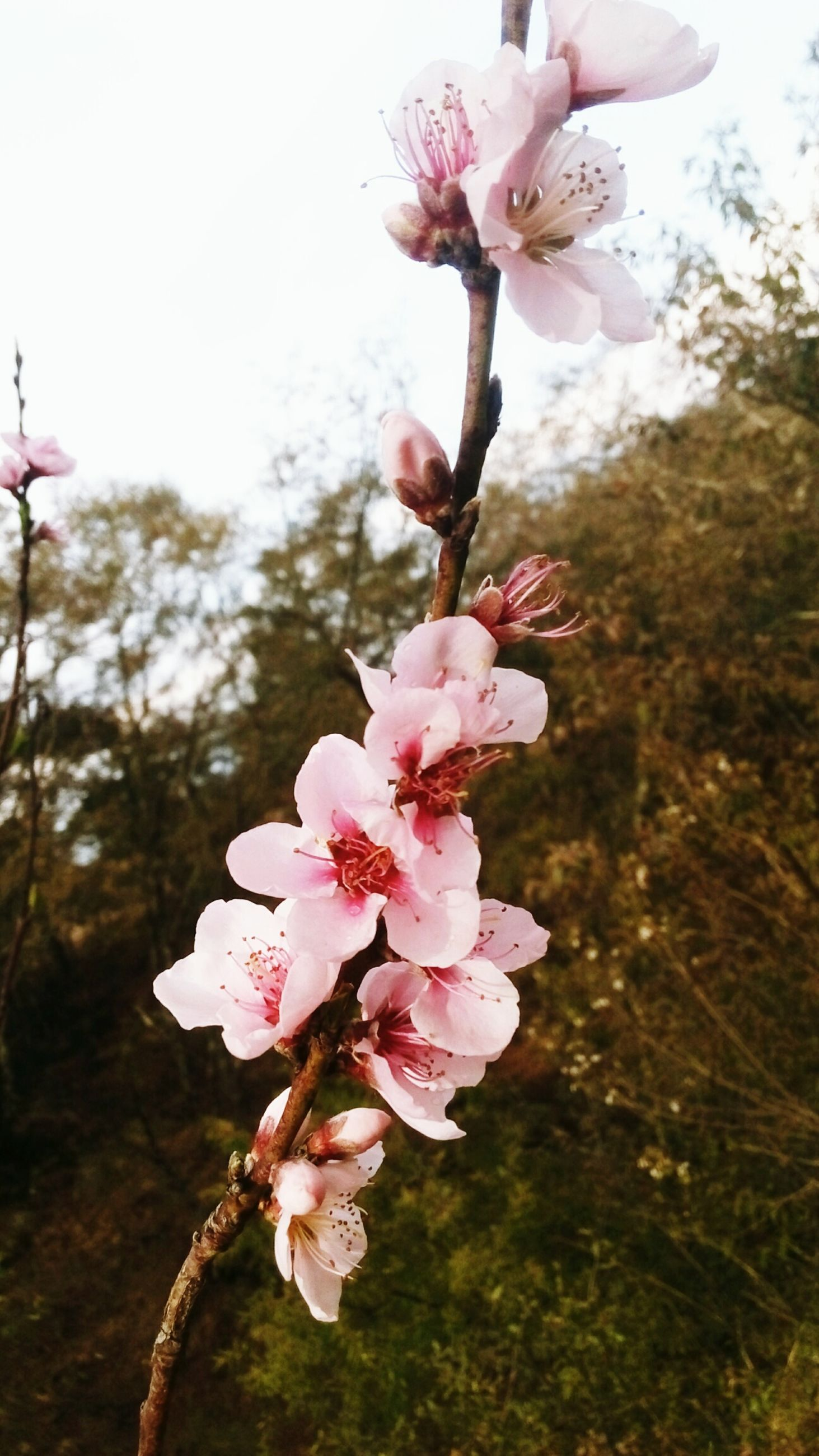flower, freshness, fragility, growth, branch, petal, beauty in nature, pink color, tree, cherry blossom, nature, blossom, close-up, in bloom, cherry tree, twig, blooming, flower head, focus on foreground, springtime