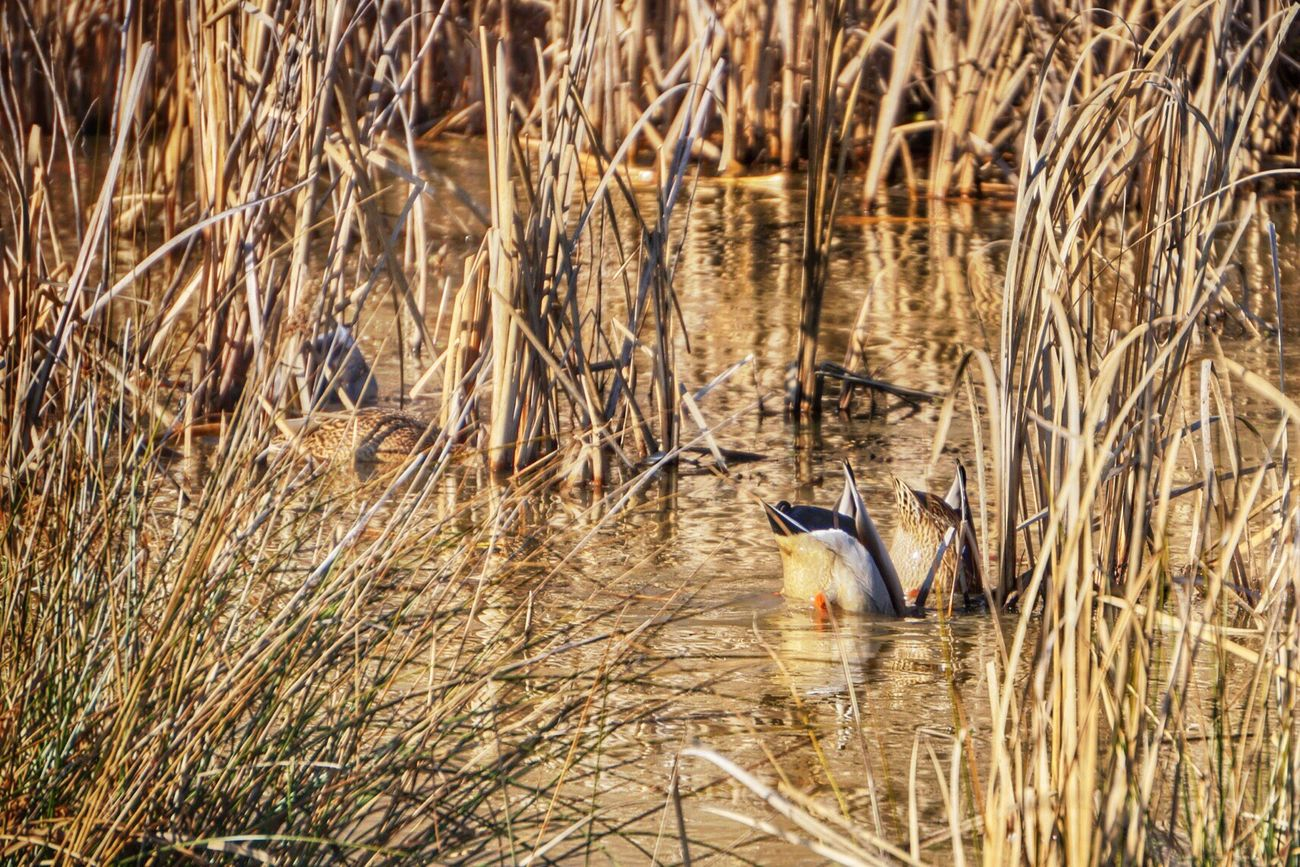 Dualing bottoms. Duck Ducks Bottoms Up Bottom