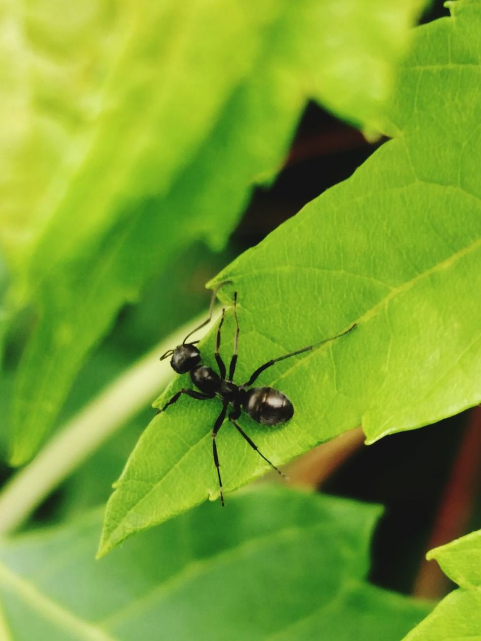 Macro Macro Photography Macro Insects Macro Ant Ant Perspective Photography Nature_collection Signs Of Summer All Gods Creatures Close-up Check This Out Pest Black Ant On A Green Leaf Femalephotographerofthemonth Ladyphotographerofthemonth Black Ant
