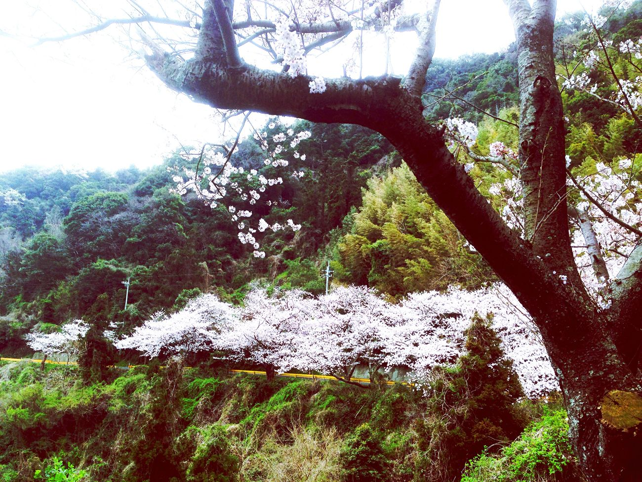 Wonderful Day Mountain Road On The Road Spring Flowers For You ;-) Cherry Blossoms サクラ