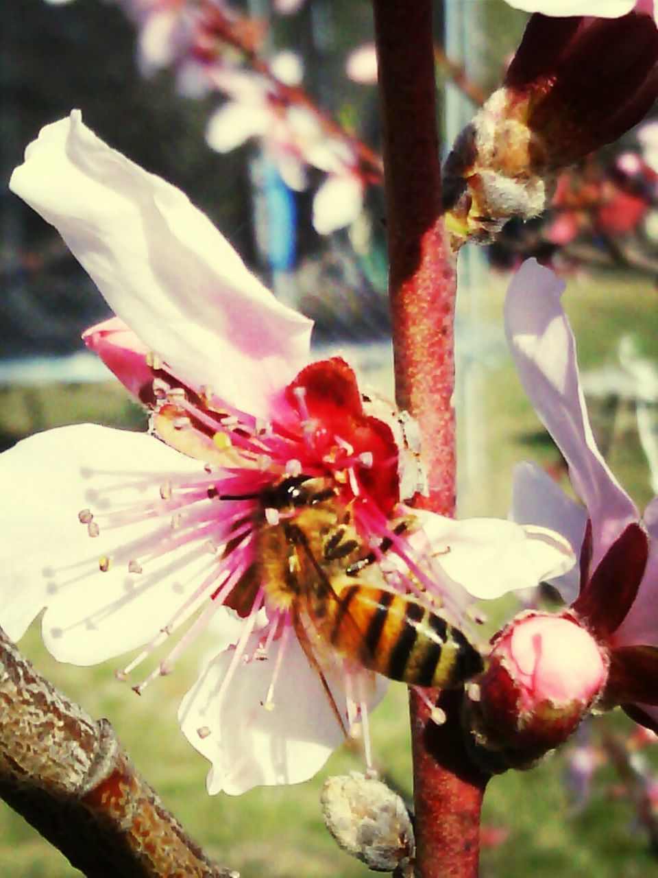 flower, fragility, petal, growth, beauty in nature, nature, freshness, flower head, close-up, blossom, no people, stamen, plant, insect, pollen, day, focus on foreground, outdoors, springtime, blooming, one animal, animals in the wild, bee, animal themes, pollination
