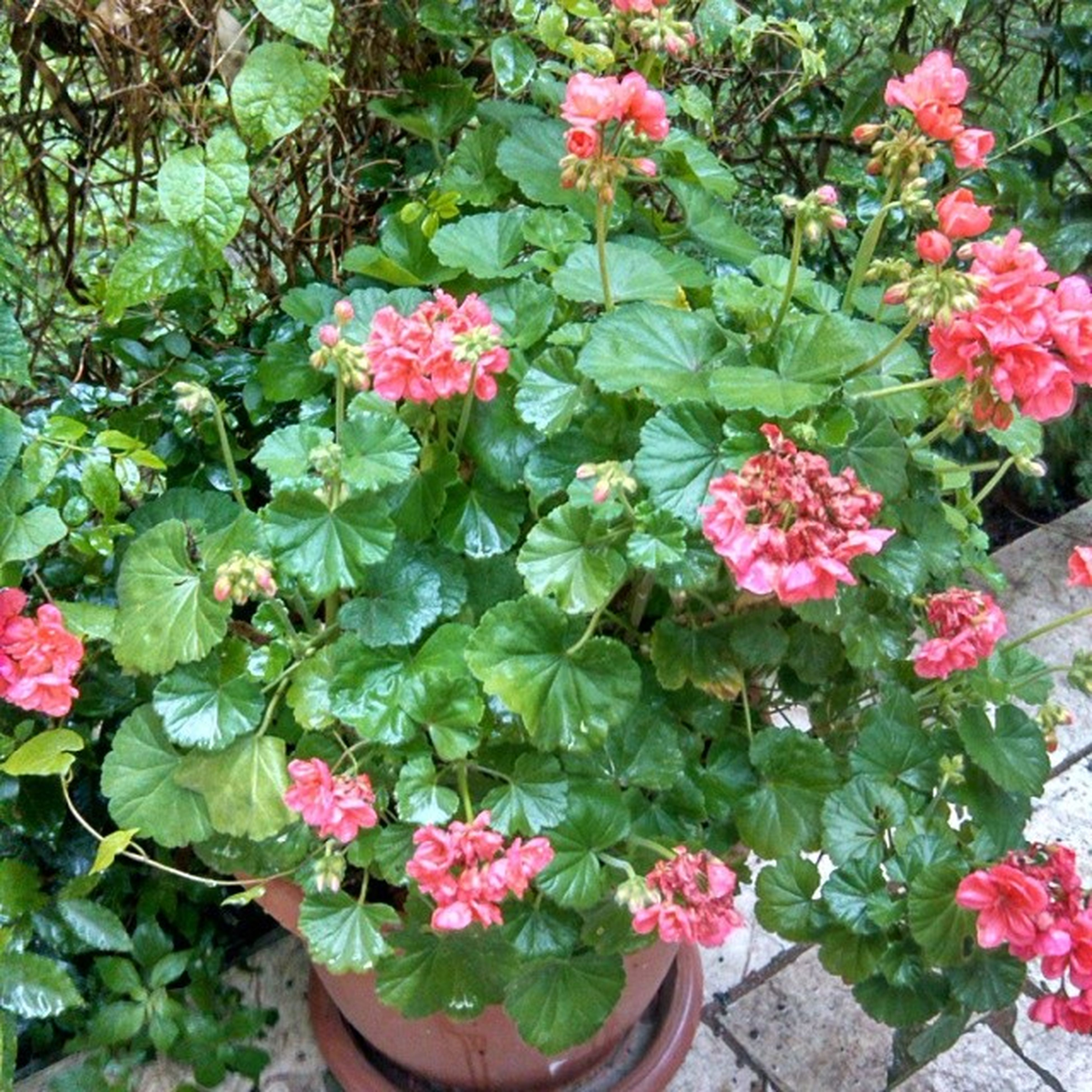 flower, freshness, fragility, pink color, growth, petal, beauty in nature, leaf, plant, nature, blooming, flower head, high angle view, in bloom, blossom, green color, potted plant, outdoors, botany, springtime