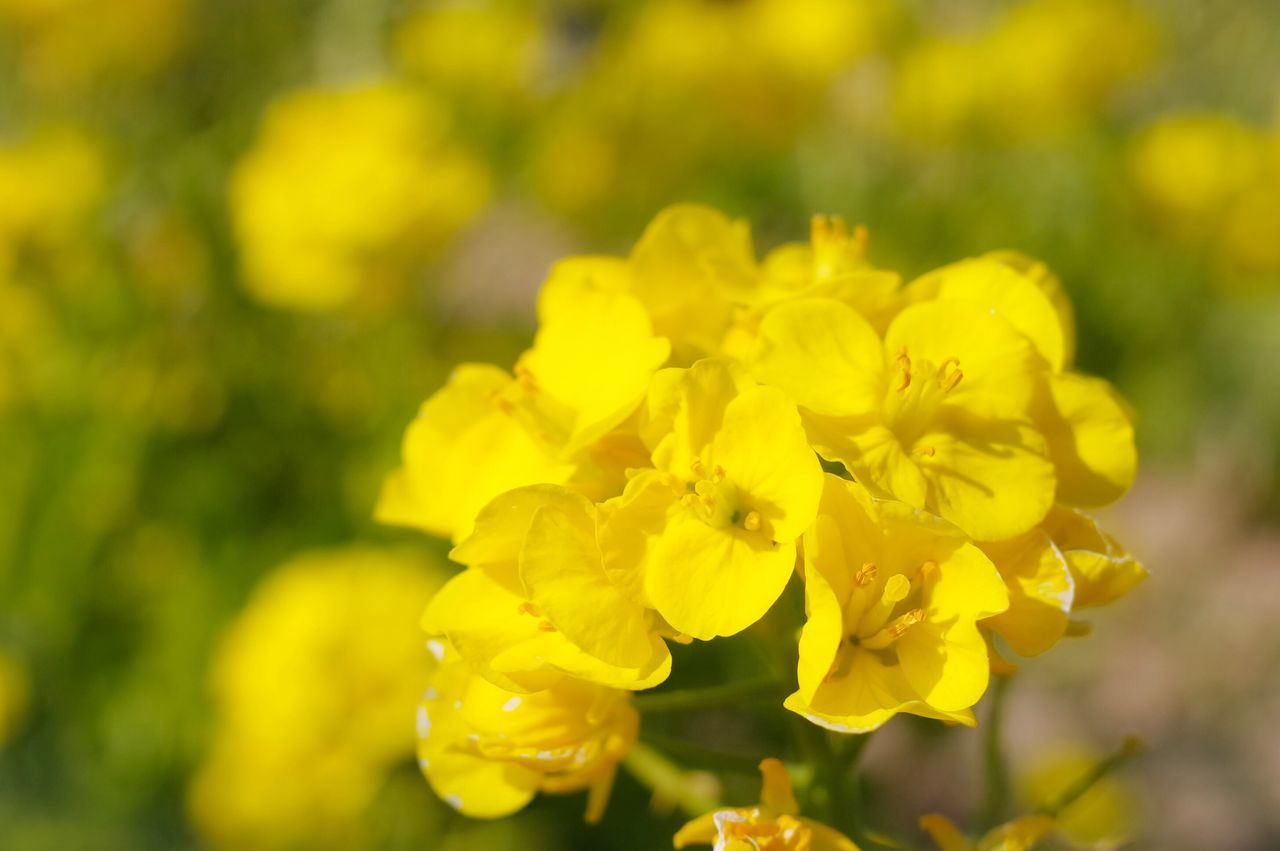 yellow, flower, nature, beauty in nature, mustard plant, oilseed rape, blossom, growth, fragility, botany, vibrant color, plant, springtime, petal, outdoors, freshness, no people, day, close-up, flower head
