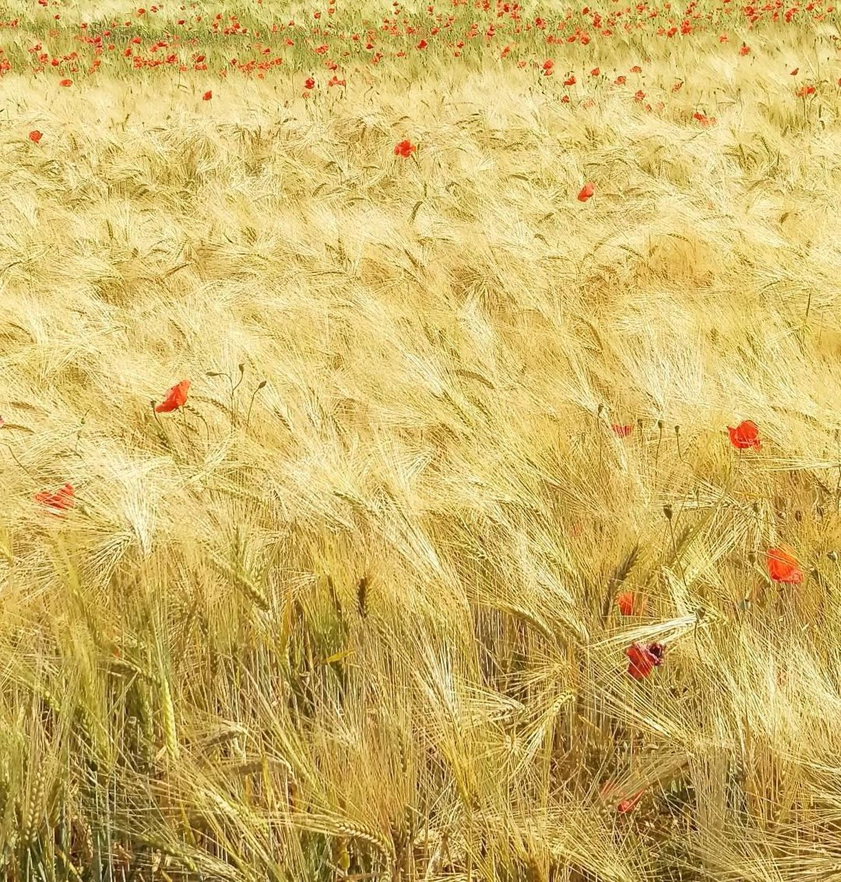 field, growth, nature, cereal plant, grass, plant, wheat, no people, day, beauty in nature, agriculture, outdoors, flower, backgrounds, red, rural scene, poppy, fragility, close-up, freshness