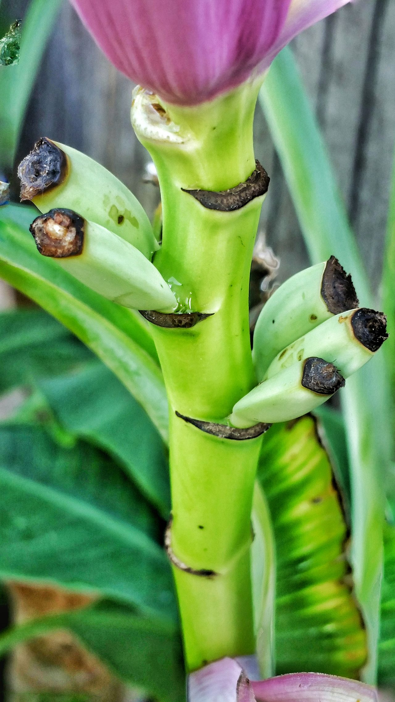 Baby Bananas Banana Tree Little Bananas New Fruit Tropical Fruits Tropical Plants Tropical Flowers Green Bananas Ripening Fruit Fruit On The Tree Stalk Of Bananas Banana Stalk Fruit Tree Plants Plants Collection Food Porn Food Photography Nature Natures Diversities Mississippi  Health Food New Fruit Fruits Banana Flower Tropical Climate