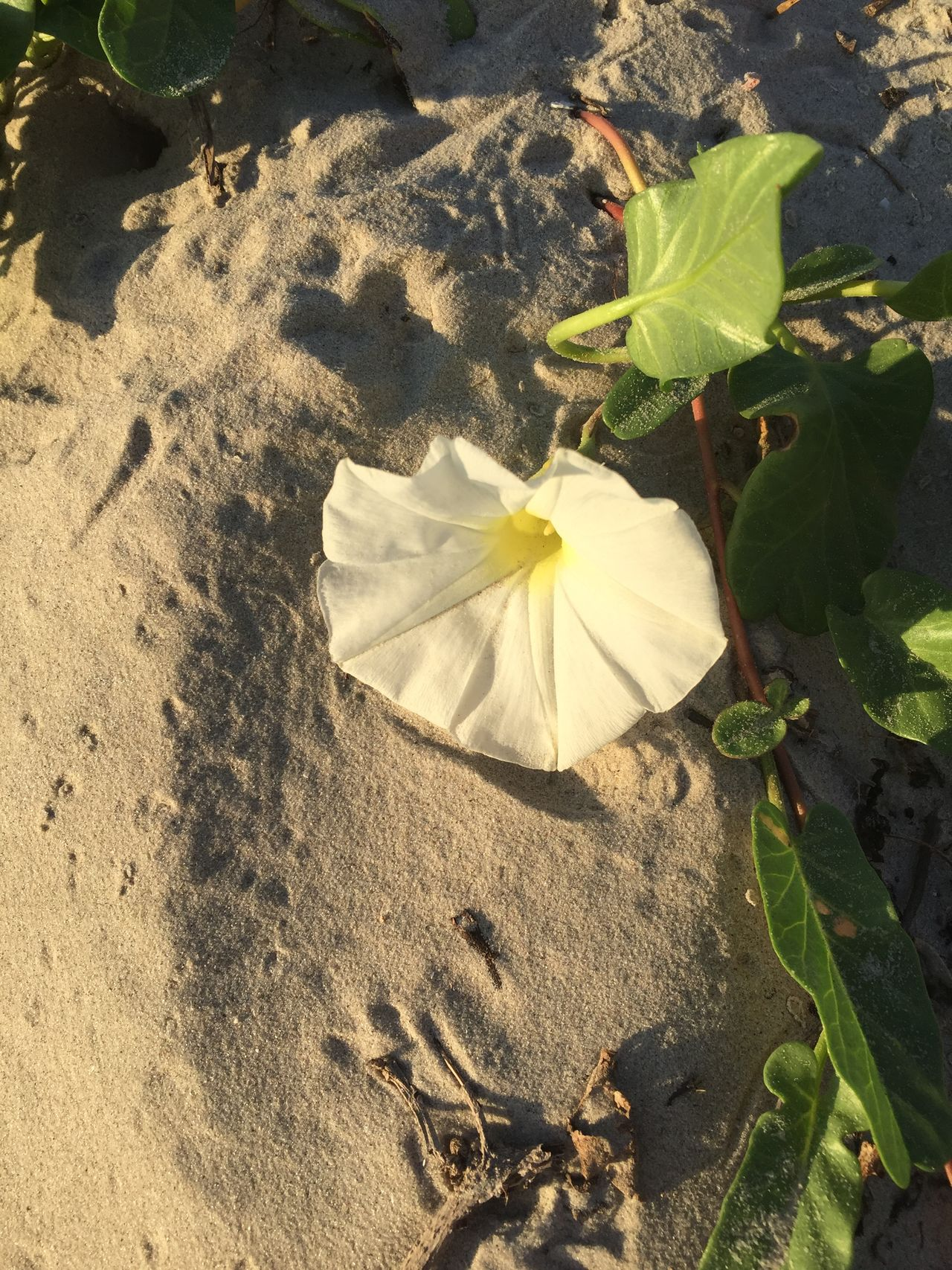 Sand dune posies 🌸 Beauty In Nature Flower In The Dunes High Angle View Leaf Nature No People Plant Sand Sunlight
