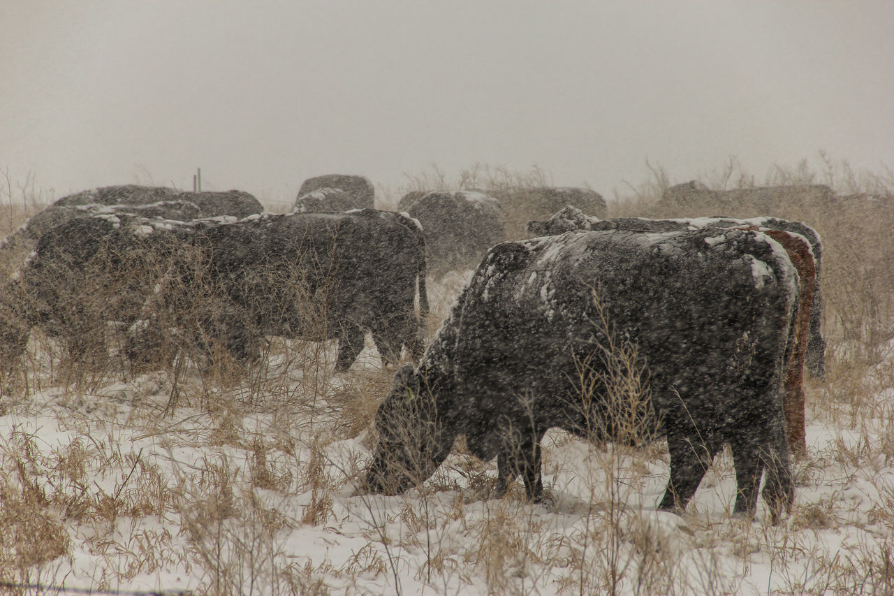 Cows in snow. Agriculture Black Black Angus Canon60d Canonphotography Cattle Cows Domestic Animals Eating Farm Grass Grazing Livestock Pasture Snow Snow Storm Snowing Winter
