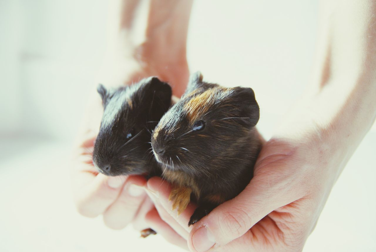 Guinea Pig Hands Care Domestic Animals Pets Holding Close-up Personal Perspective Fresh On Eyeem  Exceptional Photographs