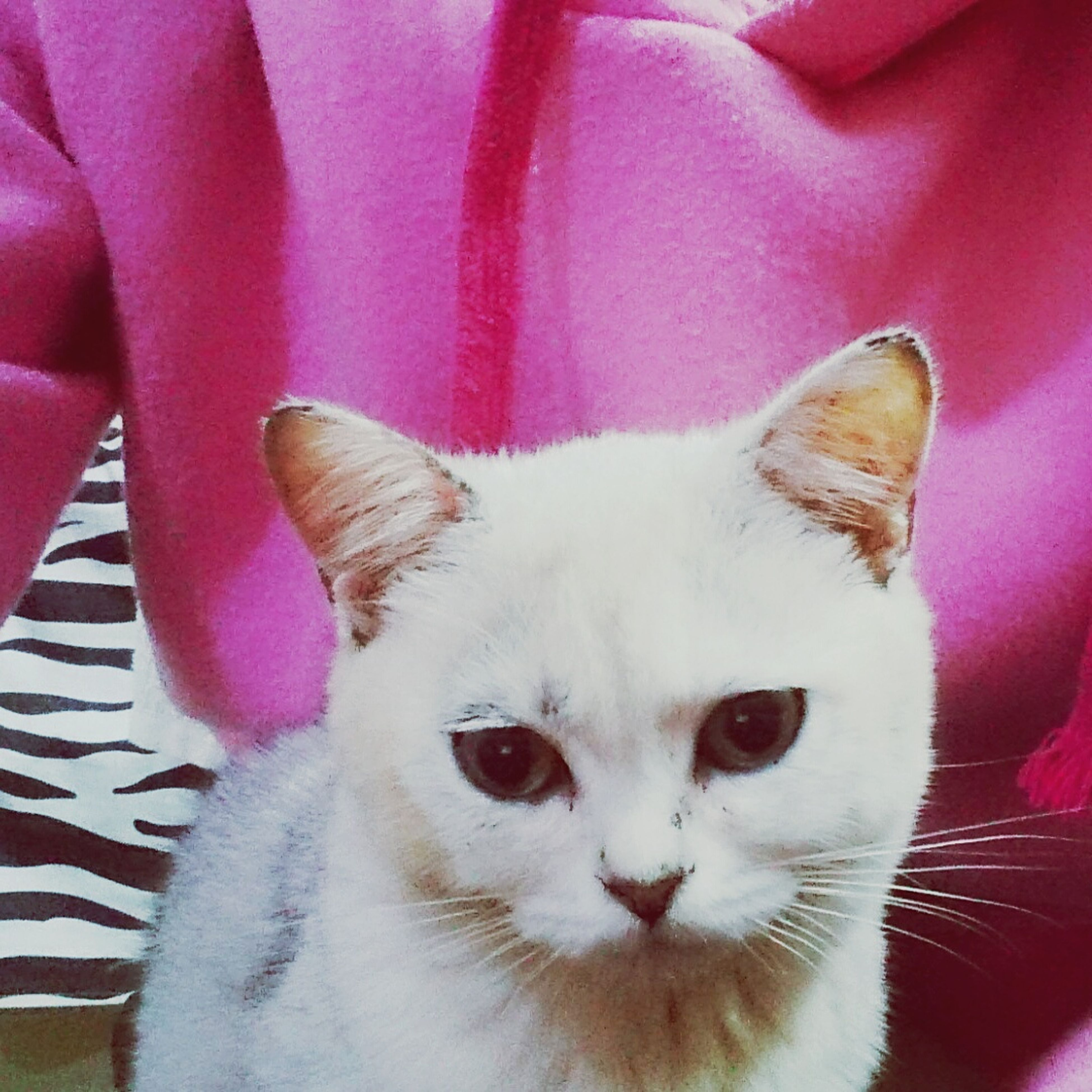 pets, domestic animals, mammal, domestic cat, one animal, animal themes, pink color, feline, portrait, close-up, no people, indoors, day