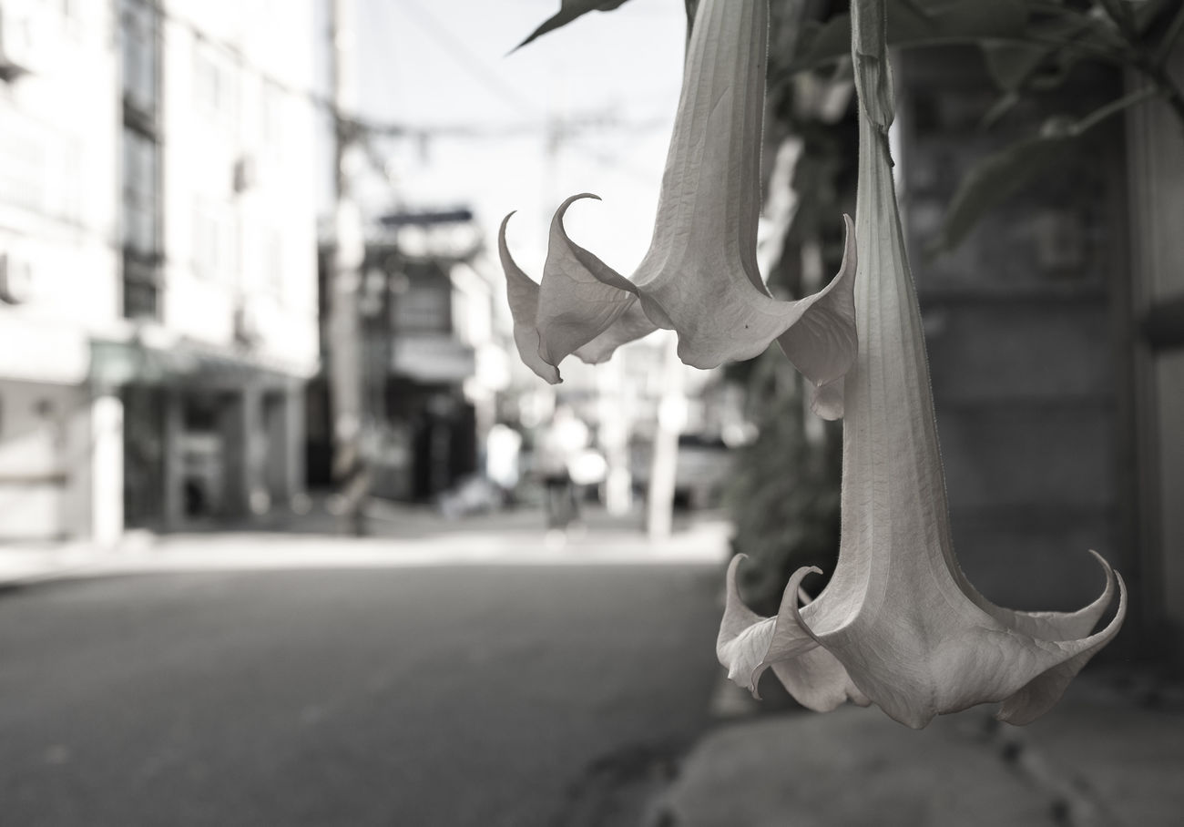 B/w Flowers Trompete